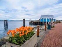 Los tulipanes adornan el paseo de la playa en Sidney, isla de Vancouver, Columbia Británica fotografía de archivo