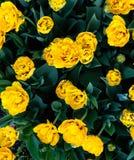 Los tulipanes amarillos Imagen de archivo libre de regalías