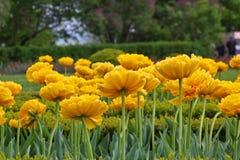 Los tulipanes amarillos han florecido en un jardín Fotos de archivo libres de regalías