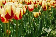Los tulipanes amarillos hermosos y brillantes crecen en el jardín Flores del resorte en el jard?n imagen de archivo libre de regalías