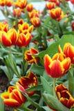 Los tulipanes amarillos rojos hermosos en Chiang Rai florecen festival Imagen de archivo libre de regalías