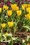 Los tulipanes amarillos rojos hermosos en Chiang Rai florecen festival Fotografía de archivo libre de regalías