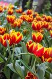 Los tulipanes amarillos rojos hermosos en Chiang Rai florecen festival Fotos de archivo libres de regalías