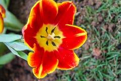 Los tulipanes amarillos rojos hermosos en Chiang Rai florecen festival Imagenes de archivo