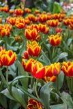 Los tulipanes amarillos rojos hermosos en Chiang Rai florecen festival Imagen de archivo