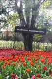 Los tulipanes amarillos rojos hermosos en Chiang Rai florecen festival Fotos de archivo