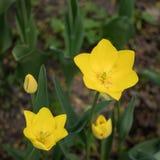 Los tulipanes amarillos se cierran encima de fondo foto de archivo