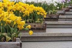 Los tulipanes amarillos y blancos en cajones están en la escalera Imagenes de archivo