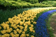 Los tulipanes amarillos y la hierba verde en Holanda cultivan un huerto Imágenes de archivo libres de regalías