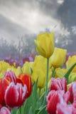 Los tulipanes amarillos y rojos cultivan un huerto en la niebla de la mañana (el foco suave) Foto de archivo