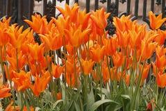 Los tulipanes anaranjados florecieron en parque Imagenes de archivo