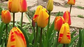 Los tulipanes bicolores florecen a lo largo de un callejón de piedra Primer