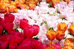 Los tulipanes blancos, rosados y rojos florecen en el parque Imagen de archivo libre de regalías