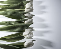 Los tulipanes blancos se cierran para arriba Imágenes de archivo libres de regalías
