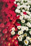 Los tulipanes blancos y rojos de la visión superior colocan bajo luz del sol de la primavera Imagen de archivo libre de regalías