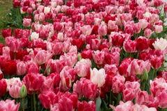 Los tulipanes blancos y rosados florecen en el parque Imágenes de archivo libres de regalías