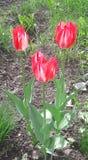 Los tulipanes brillantes satisfacen los ojos imagen de archivo libre de regalías