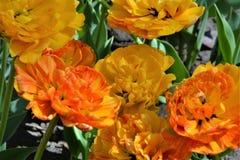 Los tulipanes coloridos frescos en luz del sol caliente pueden Foto de archivo