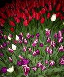 los tulipanes coloridos que esperan el sol fotos de archivo libres de regalías