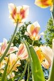 Los tulipanes con colores hermosos dirigieron hacia el sol Imagen de archivo libre de regalías