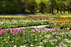 Los tulipanes crecen en el jardín Imagen de archivo