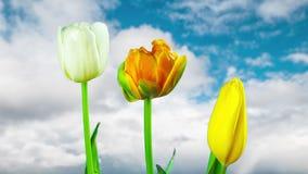 Los tulipanes crecen y florecen, time lapse almacen de metraje de vídeo