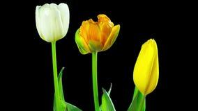 Los tulipanes crecen y florecen, time lapse con el canal alfa almacen de metraje de vídeo