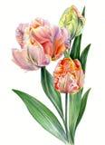 Los tulipanes de la acuarela repiten mecánicamente a la señora aislada en el fondo blanco Fotografía de archivo