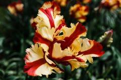 Los tulipanes de la primavera del keukenhof Foto de archivo