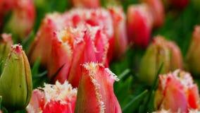 Los tulipanes de las flores de la primavera se cierran para arriba Fotografía de archivo