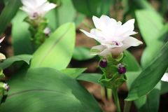 Los tulipanes de Tailandia florecen Krachiao o Pathumma que florece en el jardín foto de archivo libre de regalías