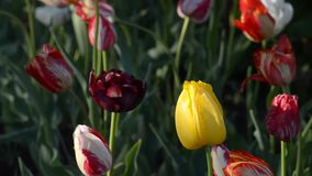 Los tulipanes diversos, coloridos florecen en la primavera almacen de video
