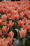 Los tulipanes en el jardín encienden por el sol imagen de archivo