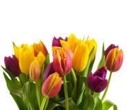Los tulipanes en un fondo blanco, primavera florecen Foto de archivo