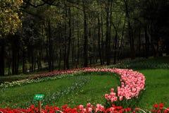 Los tulipanes están en la plena floración Foto de archivo libre de regalías