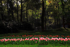 Los tulipanes están en la plena floración Fotos de archivo libres de regalías