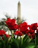 Los tulipanes están floreciendo en área nacional de la alameda Imágenes de archivo libres de regalías