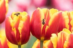 Los tulipanes están floreciendo en primavera temprana Imagen de archivo
