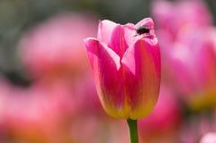 Los tulipanes están floreciendo en primavera temprana Fotos de archivo