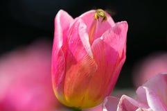 Los tulipanes están floreciendo en primavera temprana Imágenes de archivo libres de regalías