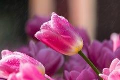 Los tulipanes están floreciendo en primavera temprana Fotos de archivo libres de regalías