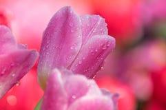 Los tulipanes están floreciendo en primavera temprana Fotografía de archivo libre de regalías