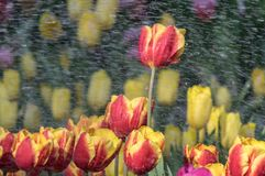 Los tulipanes están floreciendo en primavera temprana Imagen de archivo libre de regalías