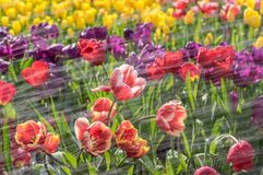 Los tulipanes están floreciendo en primavera temprana Foto de archivo