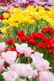 Los tulipanes exhiben en los jardines por la bahía, Singapur imagen de archivo libre de regalías