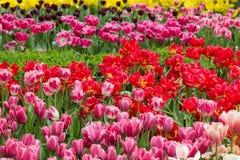 Los tulipanes exhiben en los jardines por la bahía, Singapur fotografía de archivo libre de regalías