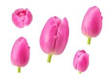 Los tulipanes florecen en diversos ángulos de cámara aislados en el backgro blanco Imagen de archivo