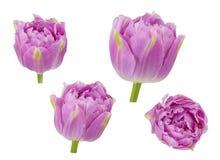 Los tulipanes florecen en diversos ángulos de cámara aislados en el backgro blanco Fotografía de archivo
