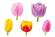 Los tulipanes florecen en diversos ángulos de cámara aislados en el backgro blanco Fotografía de archivo libre de regalías
