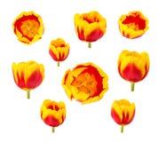 Los tulipanes florecen en diversos ángulos de cámara aislados en el backgro blanco Imagenes de archivo